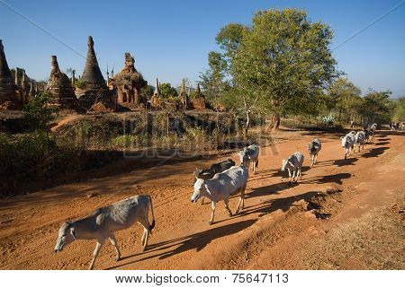 Cows Walking Near Swhe Inn Taing Paya Temple Near Inle Lake On Shan State In Myanmar.
