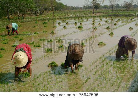 Group Of Womens Working In Myanmar .