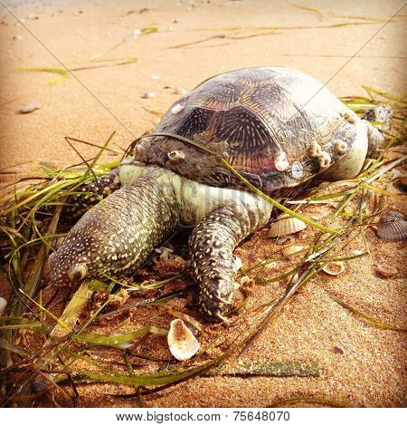 Dead european terrapin pond on beach