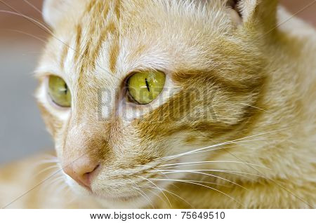 Cat Face In Close Up