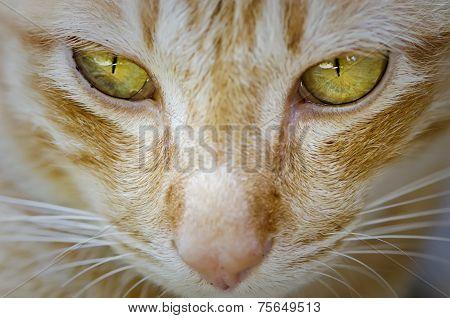 Cat In Close Up Face