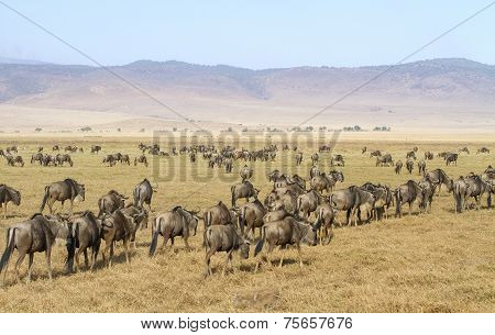 Herds of wildebeests walks in Ngorongoro