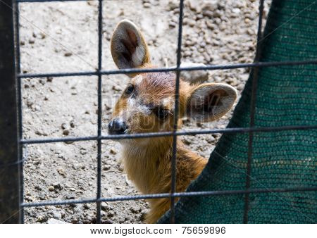 Fawn Behind The Cage