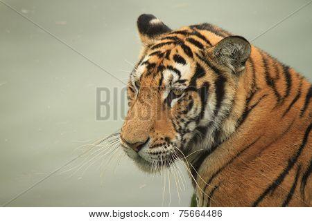 manchurian tiger