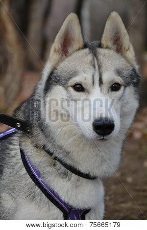 eyes Siberian Husky