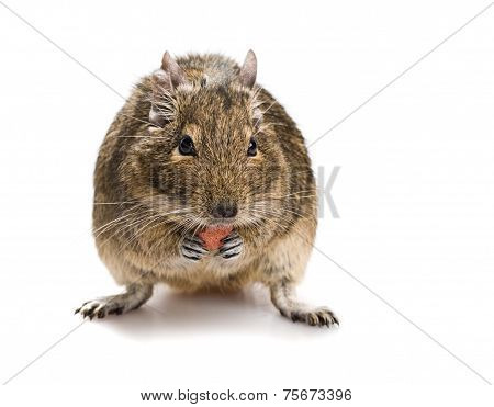Degu Mouse Gnawing Pet Food