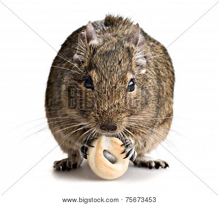 Degu Mouse Gnawing Baking