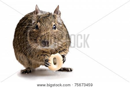 Degu Mouse Gnawing Bake
