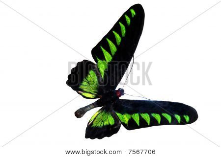 Green Brilliant Butterfly