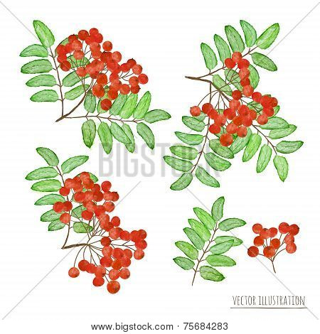 Set Of Rowan Berries With Leaves Isolated