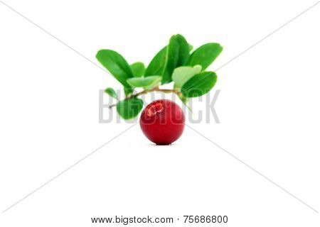 One Ripe Cowberry