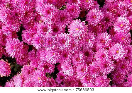 Autum Mums, Chrysanthemums Closeup