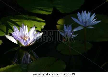 Beautiful White Lotus On Black Water