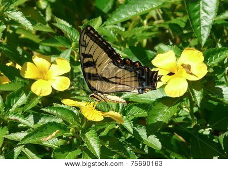 Eastern Tiger Swallowtail On Buttercup