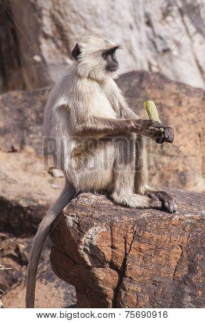 Indian Gray Langurs Or Hanuman Langurs Monkey (semnopithecus Entellus)