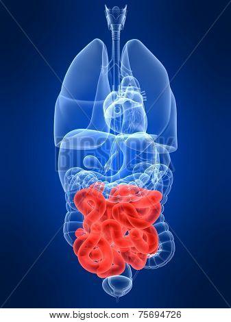 highlighted intestine