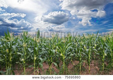 Summer Corn Field