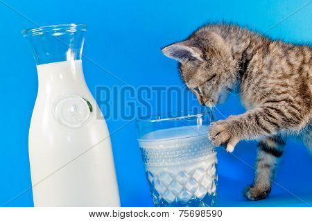 Kitten Playing with Milk