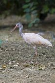 pic of scarlet ibis  - Scarlet Ibis Portrait shot in Athens Zoo
