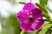 ������, ������: Pink Orchid