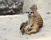 foto of novosibirsk  - Family of meerkats with cubs - JPG