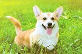 picture of corgi  - Positive dog Welsh Corgi Pembroke on the grass summer - JPG