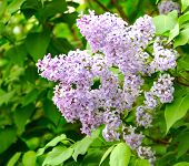 pic of lilac bush  - lilac flowers against green leaves on a bush - JPG