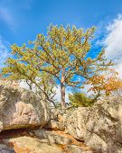 pic of maryland  - Sentinel pine guards Wolf Rock - JPG