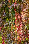 picture of creeper  - Red ivy creeper leaves on the wall of a building - JPG