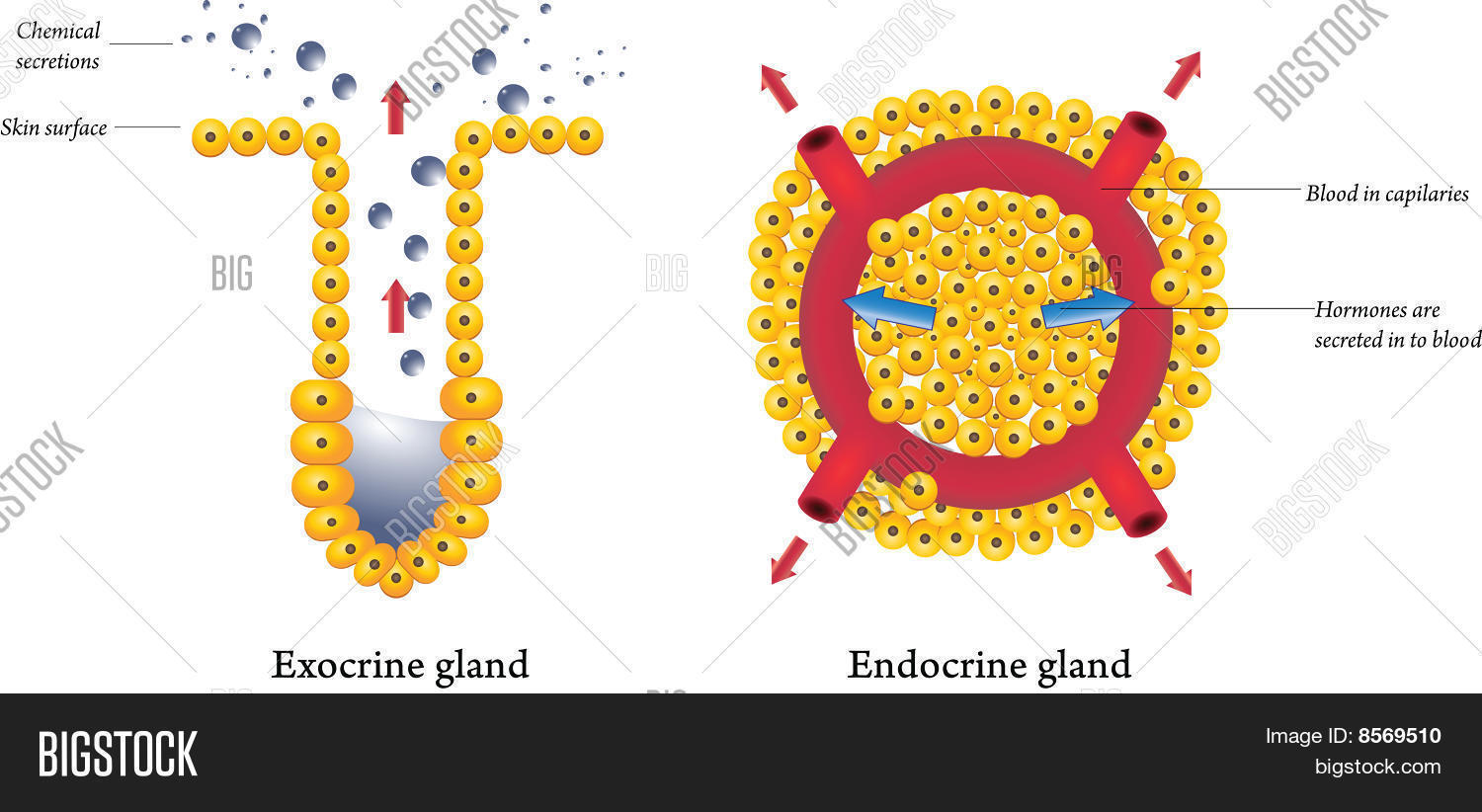 endocrine gland Although we rarely think about them, the glands of the endocrine system and the hormones they release influence almost every cell, organ, and function of our bodies.
