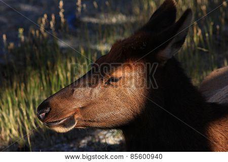 Elk Naps