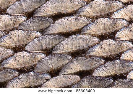 Fish Scale Close-up Macro