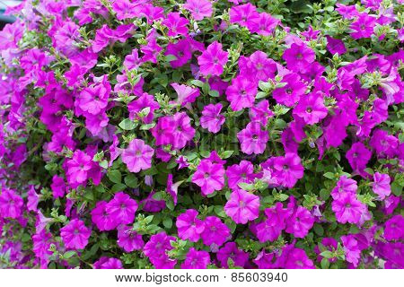 Background Display Of Bright Pink Petunias