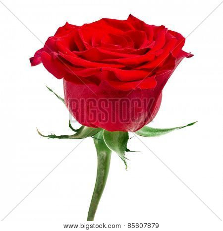 One Red Rose Flower isolated on white background