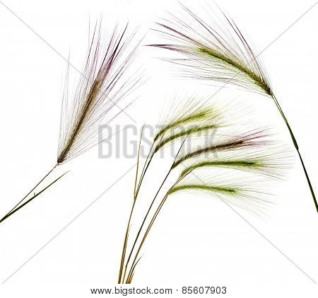 Fluffy colored spikelets, Plant Grass, Isolated on white background