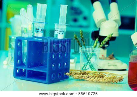 Research of GMO wheat in the laboratory