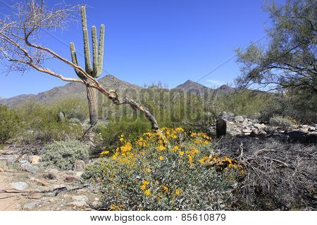 Yellow Brittle Brush and saguaro cactus