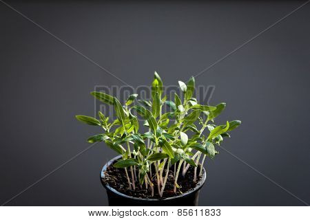 Tomato seedlings grown indoor