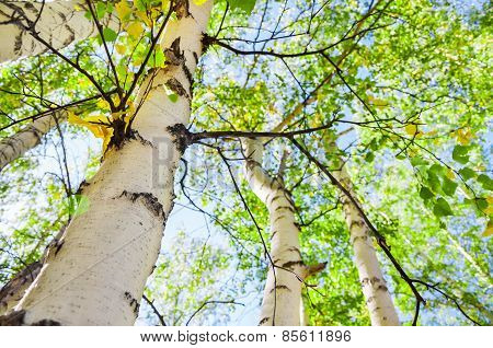 Green Birch In Spring Forest
