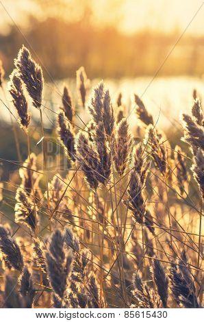 Reed at dawn.
