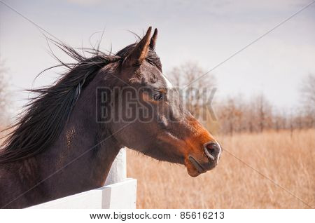 Dark bay Arabian horse looking over a white board fence on a sunny winter day with his mane blowing in the wind
