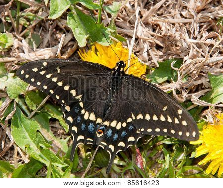 Eastern Black Swallowtail butterfly feeding on an early spring Dandelion