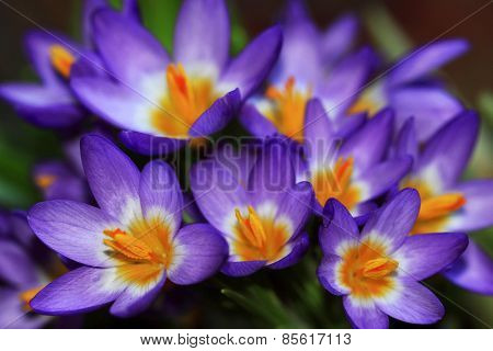 Crocuses spring flowers