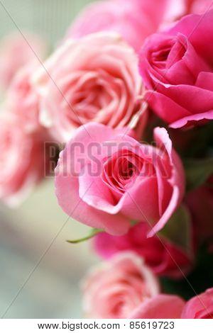 Beautiful pink roses close up
