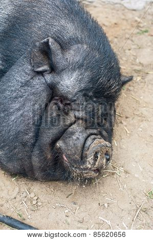 pig sleeping black pig closeup portrati