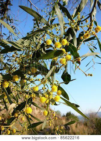 AAcacia dealbata (Mimosa, Silver Wattle)