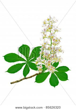 Flowering Horse Chestnut