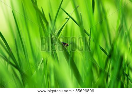Red Insect On Young Green Grass