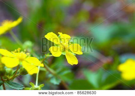 Indian strawberry yellow flower, Potentilla hebiichigo, in Japan