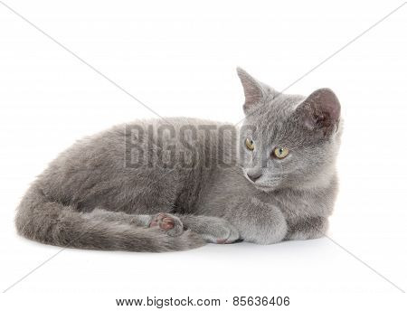 Cute Gray Kitten On White